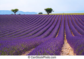 Lavender field  near Valensole.France