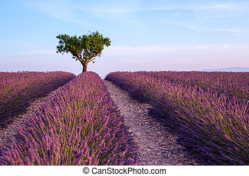 Lavender field summer sunset landscape with single tree near Valensole