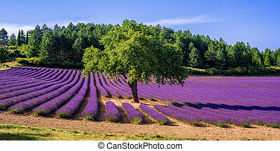 Lavender field with a tree in Provence, France