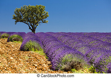 lavender field with a tree, Provence, France
