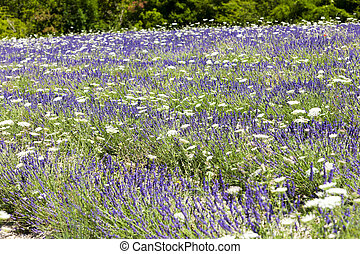 lavender field with daisies near Tavard, Rhone-Alpes, France