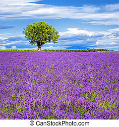 Lavender field with tree in France