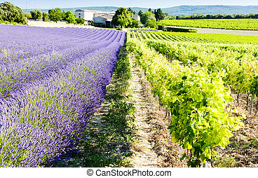 lavender field with vineyard, Drome Department, Rhone-Alpes,...