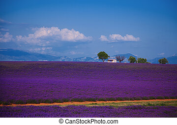 lavender fields of the French Provence near Valensole