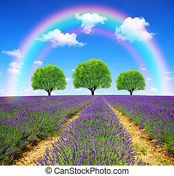 lavender fields - Rainbow above the lavender fields in...