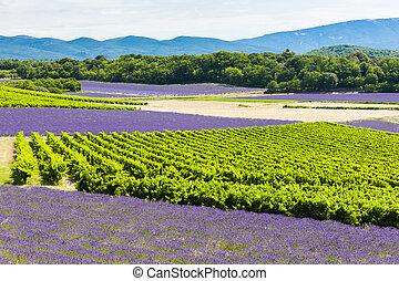 lavender fields with vineyards, Rhone-Alpes, France
