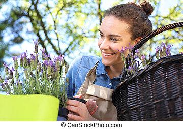 Lavender flower arrangement - Female plants in pot plants...