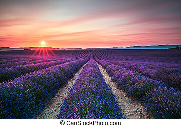Lavender flower blooming fields endless rows on sunset....