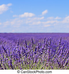 Lavender flower blooming scented fields in endless rows and a blue cloud sky. Landscape in Valensole plateau, Provence, France, Europe.
