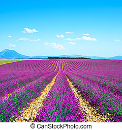 Lavender flower blooming scented fields in endless rows and ...