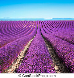 Lavender flower blooming scented fields in endless rows. ...