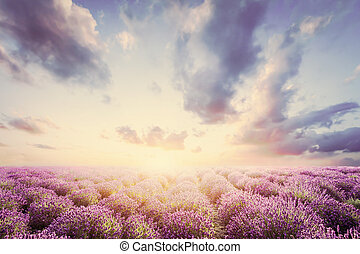 Lavender flower field at sunset. Vintage