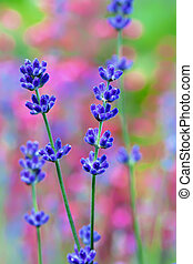 Lavender flower field, macro with soft focus