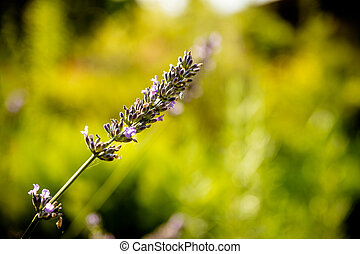 Lavender flower head on Bright green natural background. Lavender bushes closeup on sunset. Sunset gleam over purple flowers of lavender. Provence region of france..Copy space.