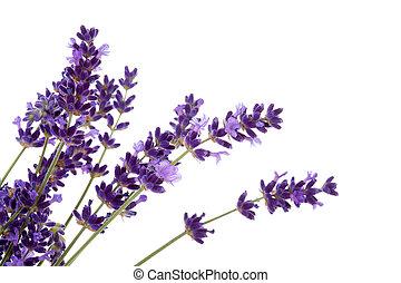lavender flower in closeup - Lavender flower in closeup over...