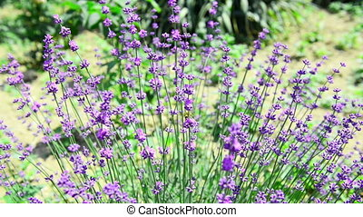 Lavender flower swaying in the wind