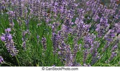 Lavender flowers pollinated by honey bees, buzz on the blooming field in summer sunshine