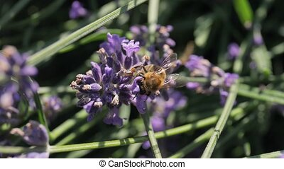 Lavender flowers pollinated by honey bees
