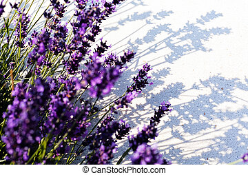 lavender flower with a shadow