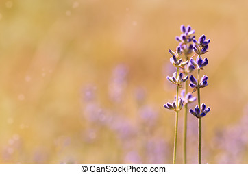 Lavender flowers bloom summer time with copy-space