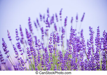 Lavender flowers blooming in field in Lawrence, Kansas, USA...