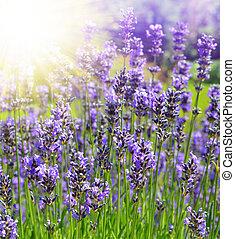 Lavender flowers close up