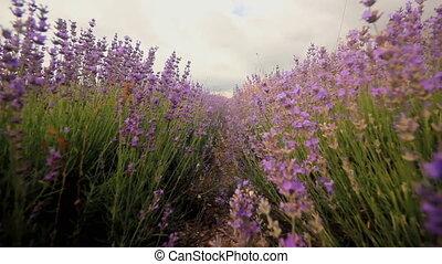 lavender flowers close-up - purple lavender flowers, moving...