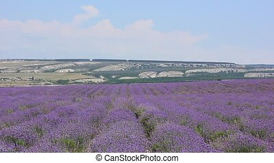 lavender flowers field