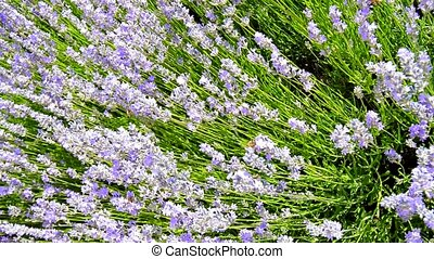 Lavender flowers grow in the garden, bees fly over them