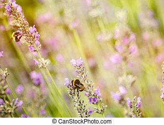 Lavender flowers in summer