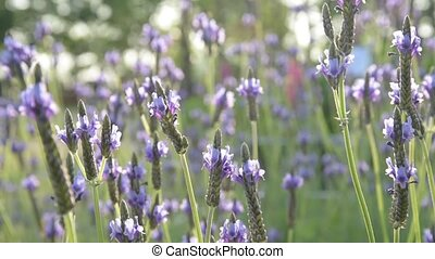 Lavender flowers in the foreground and blurred background...