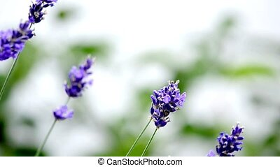 Lavender flowers in wind