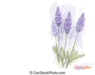 Lavender flowers (Lavandula). Watercolor style. Vector...