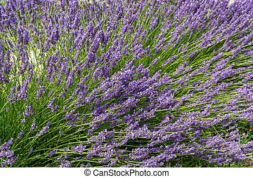 Lavender flowers on a bed in the city
