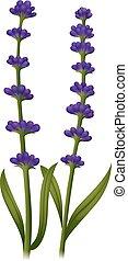 Lavender flowers on green stem illustration