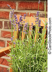 lavender flowers - beautiful blue lavender flowers in the...