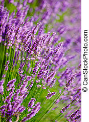 Beautiful Blooming Lavender Flowers. Summer season. Close up.