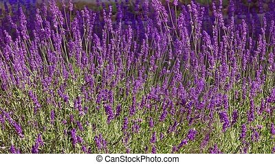 lavender garden - lavender plants swaying in the breeze Loop...