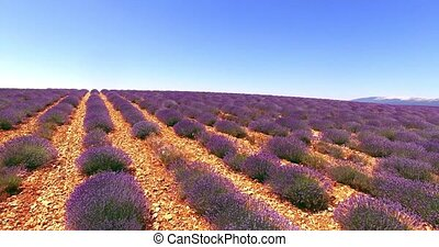 Lavender growing in france - Lavender field in summer time...