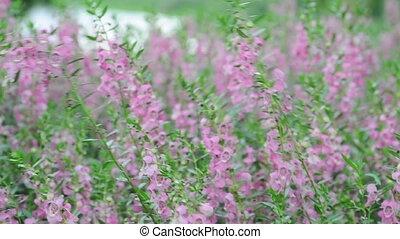 Lavender has narrow leaves and bluish-purple flowers,...