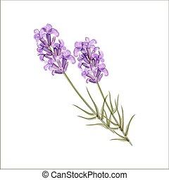 lavender., hierba, vector, flower., ilustración