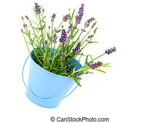 lavender in a blue bucket, isolated on white background