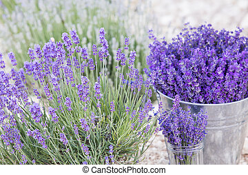 Lavender in a metal bucket.