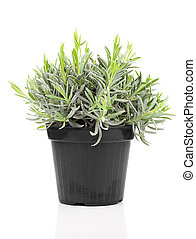 Lavender in a pot, on white background