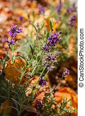 Lavender in autumn