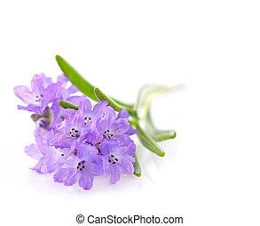 Lavender in closeup