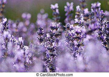 Lavender in garden - Blue lavender in garden on a summer day