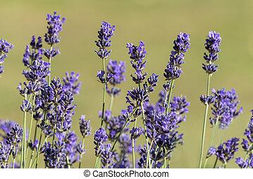 Lavender in macro