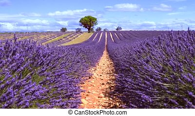 LAVENDER IN SOUTH OF FRANCE - Lavender field in Provence,...