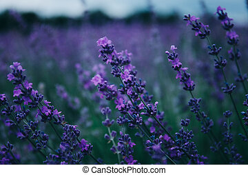 Lavender in the field.